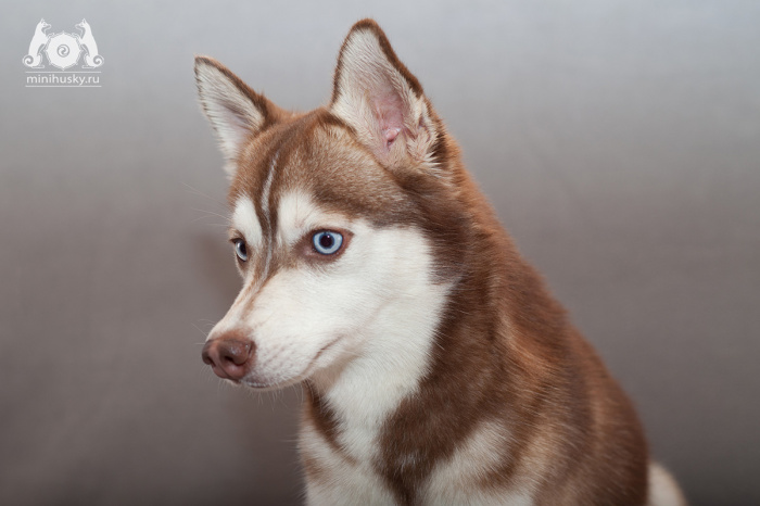 Alaskan Klee Kai Song of Ice Rurik