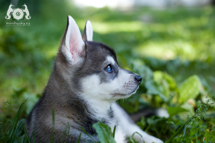 Klee Kai Puppy for sale