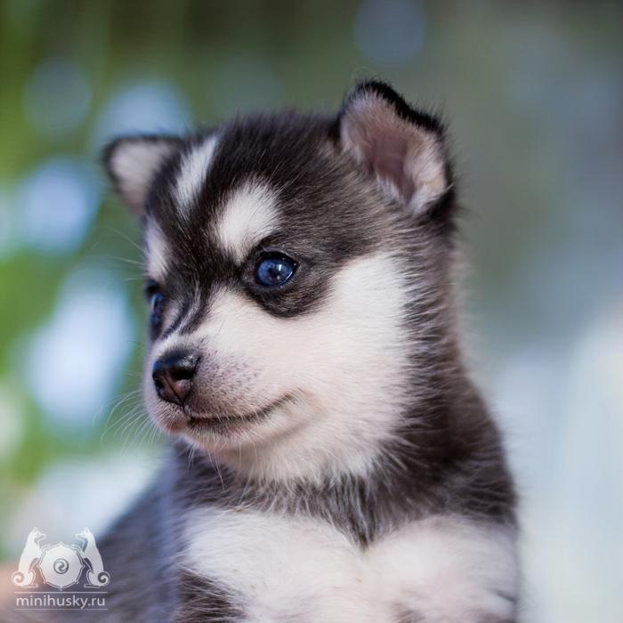 Alaskan Klee Kai Puppies For Sale Alaskan Klee Kai Kennel Song Of